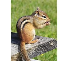Chipmunk Lunch Photographic Print