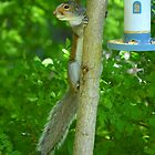 Sciurus Carolinensis | Easter Gray Squirrel - Center Moriches, New York by © Sophie W. Smith