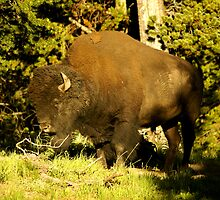 bison closeup by birus
