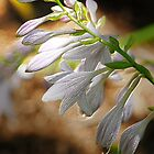 HOSTA GLORIFIED by FSULADY