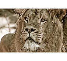portrait of a big African male lion Photographic Print