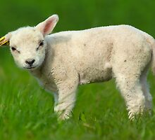 cute baby sheep by Enjoylife