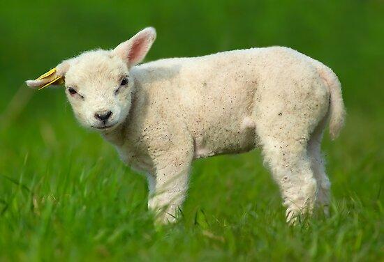 cute baby sheep by Enjoylife