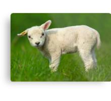 cute baby sheep Metal Print