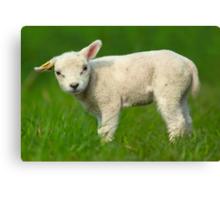 cute baby sheep Canvas Print