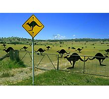 roo's in the paddock Photographic Print