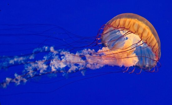 Sea Nettles Jellyfish (Chrysaora fuscescens) by Eyal Nahmias