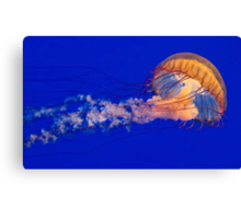 Sea Nettles Jellyfish (Chrysaora fuscescens) Canvas Print