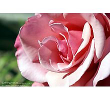 Pink - Kissed by the afternoon sun; Patricia Merz Garden, Gr. Hills, CA USA Photographic Print