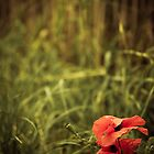 The Poppys by SRaphael