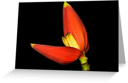 Red Banana Flower by John  De Bord Photography