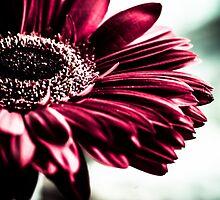 Gerbera Daisy  by IamPhoto