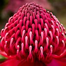 Wonderful Waratah by Ben Shaw