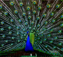 Peafowl Plumage by Chelsea Kerwath