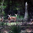 FLORIDA WHITETAIL DEER by TomBaumker
