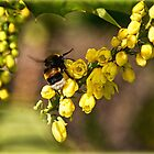 Fuzzy Bee On Mahonia by Susie Peek