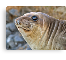 Young female Elephant Seal profile  Canvas Print