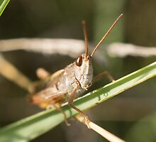 Common Field Grasshopper by Robert Carr