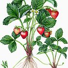 Garden Strawberry - Fragaria  ananassa No.2 by Sue Abonyi