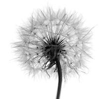 Dandelion (Reversal) by berndt2