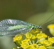 Green Lacewing by Robert Carr