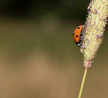 Seven-spot Ladybird by Robert Carr