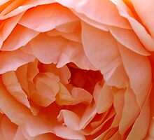 Apricot Rose by gypsygirl