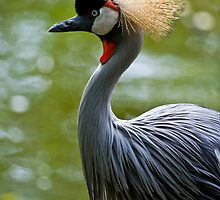 Crowned Crane 1 by Mark Snelson