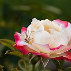 Daddy Long Legs on a Rose by Irina777