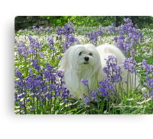 Snowdrop the Maltese -  in the Bluebell Woods Metal Print