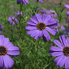 purple daisies by Roboftheland