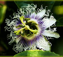 PASSION fruit... by MikeO