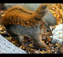 squirrel 03 by Kittin
