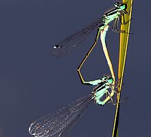 Common Blue Damselfly by larry flewers