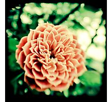 Acid Olde Tyme Rose Photographic Print
