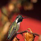 Perched Hummingbird by Daniel J. McCauley IV