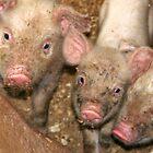 The Three Little Pigs by Deon de Waal