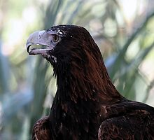 Wedge-tailed Eagle in watercolours by Lesley Smitheringale