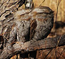 Tawny Frog Mouths by salsbells69