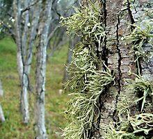 Lichen by Woodgate