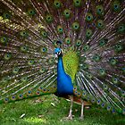 Peacock by bobbijo07