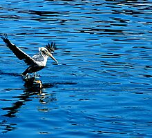 Look Out! Pelican Going In by Trace Lowe