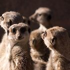 Meerkat Group by David Oreol