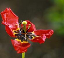 A single tulip dance by Irina777