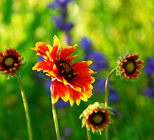 Indian blanket flowers by Elena Elisseeva
