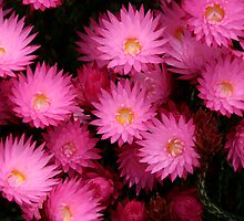 Paper daisies by Robyn Lakeman