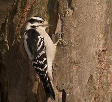 Downy Woodpecker II by Leisa  Hennessy