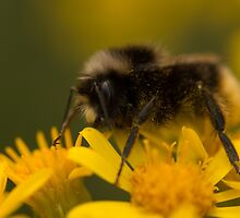 Pollinating Bumblebee by Robert Carr