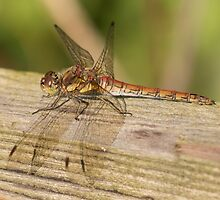 Common Darter Dragonfly by Robert Carr