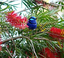 Bottle brush Blue Wren by Coralie Plozza